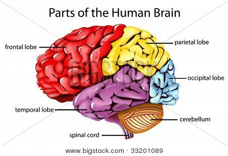 Illustration of parts of the brain - EPS VECTOR format also available in my portfolio. poster
