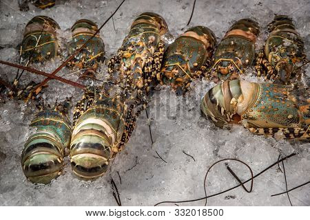 Painted Spiny Lobster ( Panulirus Versicolor ) Are Seafood Raw Material Expensive Luxury Restaurant