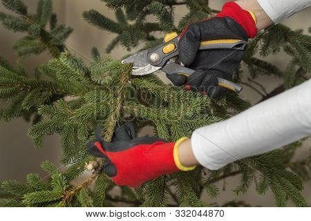 Undressing The Christmas Tree After Christmas. Female Hands In Protective Gloves Cut The Branches Of