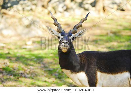Blackbuck