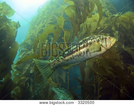Kelp Bass In The Kelp