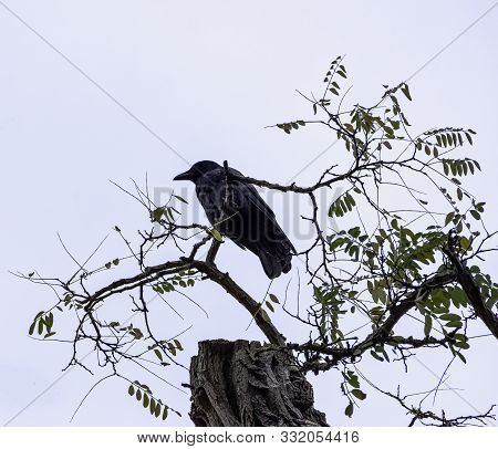 Common Raven (corvus Corax), Also Known As Northern Raven In Ham, London, United Kingdom