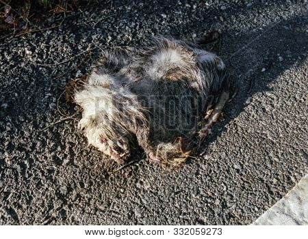 An Opossum Scowls In Death On The Edge Of The Road