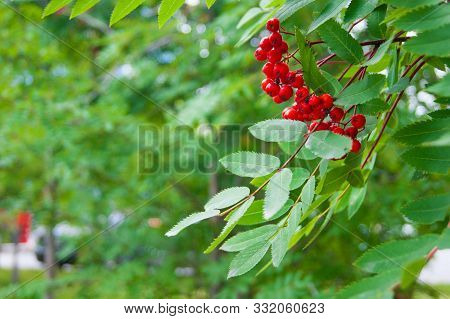 The End Of Summer Or The Beginning Of Autumn - Leaves And Grass Are Still Green Bright Red Rowan Ber