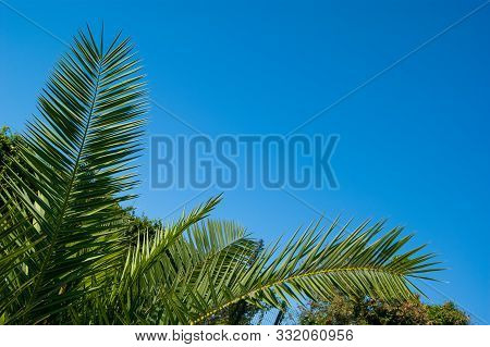 Green Holly Leaves Of A Palm Tree In The Form Of A Triangular Frame On A Background Of Blue Clear Sk