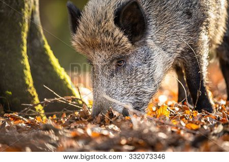 Wild Boar Or Sus Scrofa, Also Known As The Wild Swine, Eurasian Wild Pig