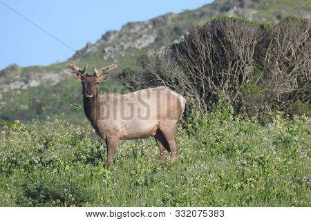 Bull Elk, Point Reyes National Seashore, Northern California.