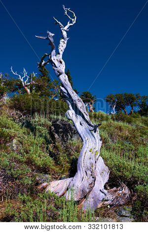 Windswept Dead Tree With Parched Twisted Branches Taken On An Alpine Meadow In The Rural Northern Ca