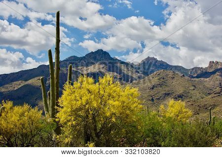 Saguaro Cactus Desert Scene. Huge Saguaro Cactus In The Sonora Desert At Saguaro National Park In Tu