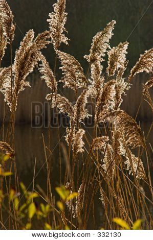 Backlit Reeds 5481