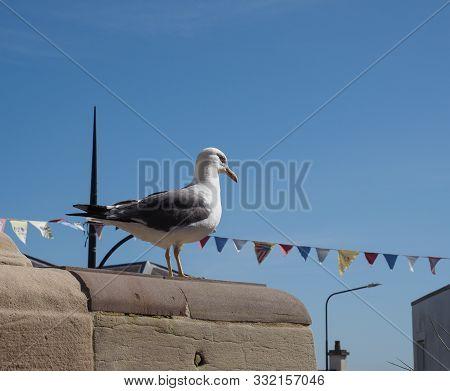 Seagull Animal Of Class Aves (birds)