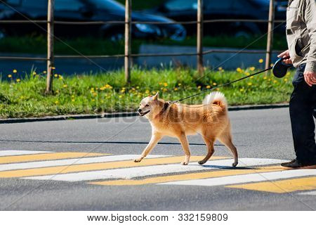 Karelian Husky Crosses The Road At A Pedestrian Crossing. Beautiful Red Dog Walks On A Leash.