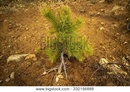 Afforestation. Young Pine Planted (regrowth) On Plot With Sandy Soil, Pine Sapling.