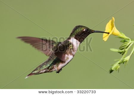 Male Ruby-throated Hummingbird (archilochus colubris) in flight with a yellow flower and a green background poster