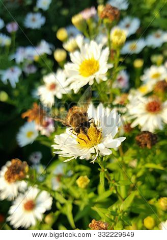 Bumblebee And White Chamomile. A Bee Sits On A Flower. Bumblebee Sitting On A Daisy. Bumblebee Close