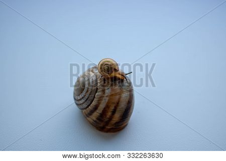 Snails Isolated On White Background.snail Series: Snail Family - Mother And Daughter. The Daughter S