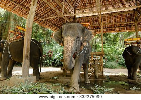 Tamed Elephants With Saddle Standing At Zoo.