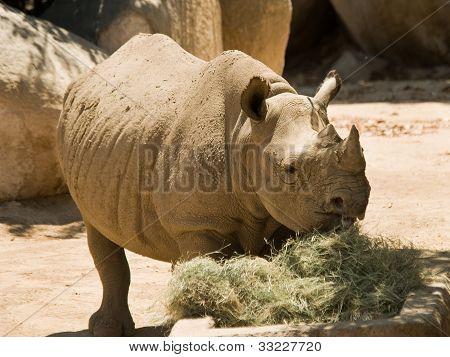 A Captive Rhinoceros