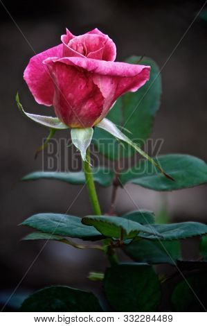 Long Stem Red Rose One Bud Large Size Petals For Design Background With Green Leaves And Blurred Bac