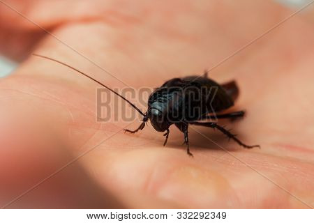 Red Pregnant Cockroach With An Egg On A Human Hand. Macro Photo Close-up.