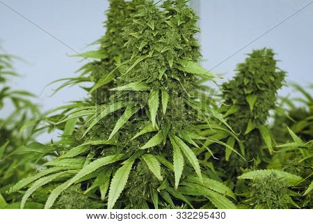 Cannabis Leaves And Stems Are Grown Hydroponically In The Garden. Beds Of Hemp, Marijuana In A Legal
