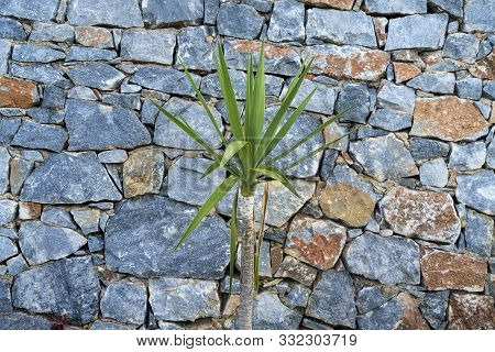 Small Yucca Palm Tree In Front Of A Natural Stone Wall