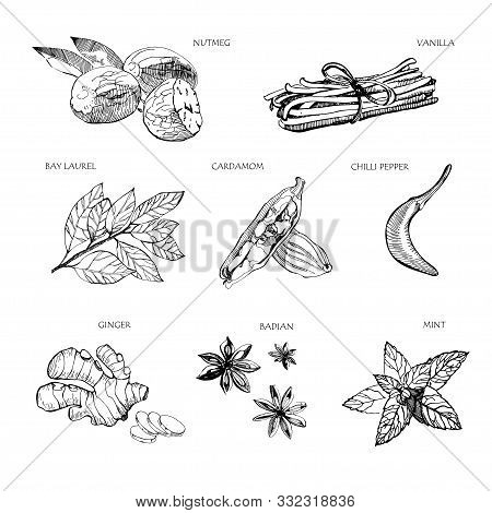 Hand Drawn Spices. Vanilla And Pepper, Cardamom And Badian , Nutmeg And Bay Leaves, Mint And Gingers