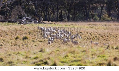Sheep Grazing. Tablelands Near Oberon. New South Wales. Australia.