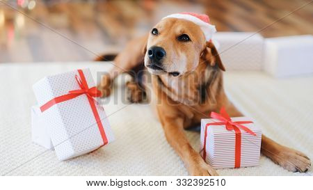Adorable Dog With Gifts Celebrating Christmas At Home.