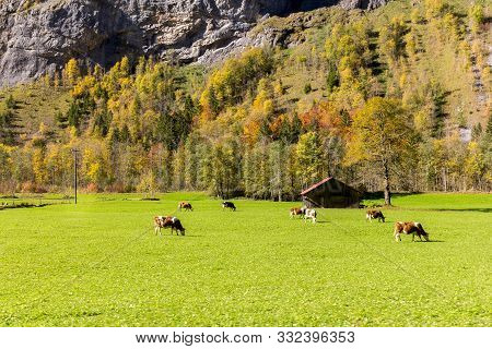 Lauterbrunnen Valley With Swiss Cows Grazing In The Colorful Autumn Field, Berner Oberland, Switzerl