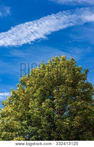 Close-up Of A Maple Tree With Green Leaves In Summer On A Blue Sky With Clouds. Italian Alps, Trenti