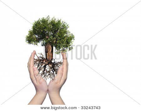 Concepto o conceptual árbol baobab verde con la raíz en las manos y protegido por una joven