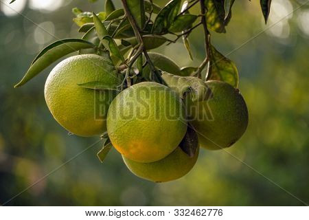 Uncultivated Oranges On The Tree Branch Close Up View