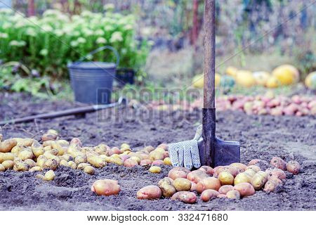 Harvesting Potatoes. Growing Potatoes. Organic Potato Growing Concept. Farm Potatoes And A Shovel On