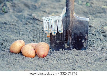 Concept Of Organic Growing Potatoes. Farm Potatoes. A Shovel Is Inserted Into The Ground, Potatoes A