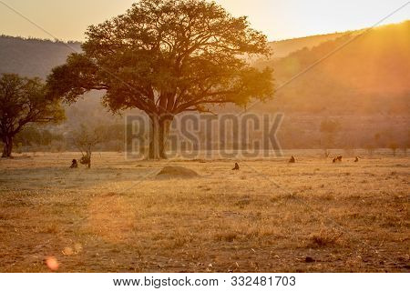 Sunset On A Open Plain With Chacma Baboons.