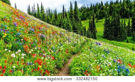 Hiking Through The Alpine Meadows Filled With Abundant Wildflowers. On Tod Mountain At The Alpine Vi