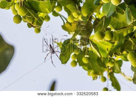 Spider Is Hanging From Tree In The Forest