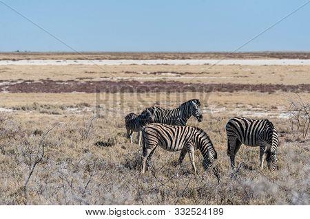 A group of Burchells Plains zebra -Equus quagga burchelli- standing close to each other on the plains of Etosha National Park, Namibia. poster