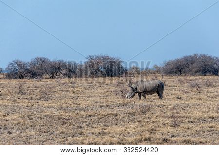 poster of A solitary dehorned Black Rhinoceros - Diceros bicornis occidentalis- grazing in Etosha National Park, Namibia. Black Rhinos are critically endangered due to poaching. Their horn is removed in order to stop the poachers from killing the animal.