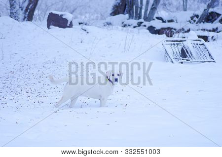 Happy Labrador Is Having A Day Out In Nature With Deep Snow