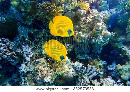 Masked Butterflyfish (chaetodon Semilarvatus) In The Ocean Near Coral Reef. Colorful Tropical Fishes