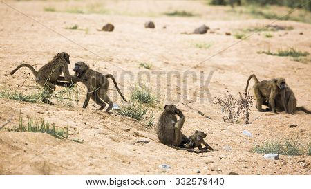Small Group Of Chacma Baboon Playing In Riverbank In Kruger National Park, South Africa ; Specie Pap