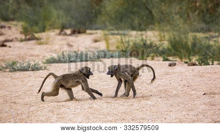 Two Chacma Baboons Fighting In Sand In Kruger National Park, South Africa ; Specie Papio Ursinus Fam