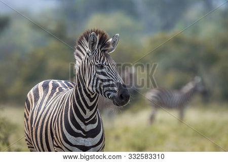 Plains Zebra Portrait In Natural Background In Kruger National Park, South Africa ; Specie Equus Qua