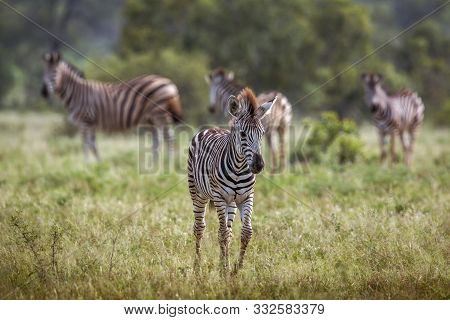 Young Plains Zebra Walking In Front View In Kruger National Park, South Africa ; Specie Equus Quagga