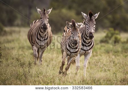 Three Plains Zebra Running In Front View In Kruger National Park, South Africa ; Specie Equus Quagga