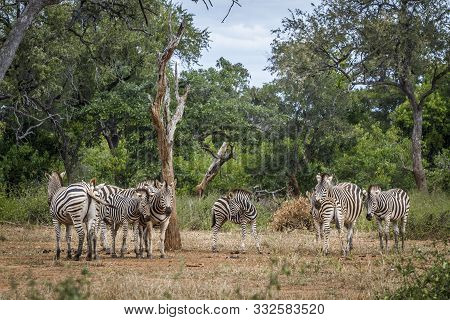 Small Group Of Plains Zebra In Nice Scenery Of Kruger National Park, South Africa ; Specie Equus Qua