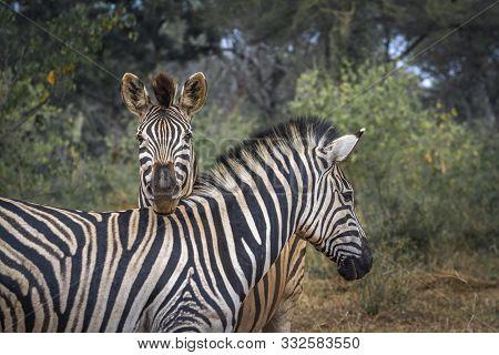 Two Plains Zebra Funny Portrait In Kruger National Park, South Africa ; Specie Equus Quagga Burchell