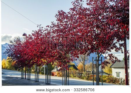 Autumn Colours In Some Trees Near A Road In Norway